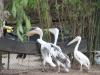 San Diego Zoo, Feeding the pelicans