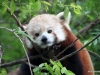 San Diego Zoo, Red Panda
