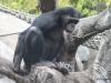San Diego Zoo, Bonobo