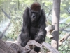San Diego Zoo, Western Gorilla