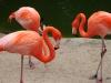 San Diego Zoo, Flamingos