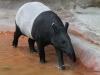 San Diego Zoo, Malayan Tapir