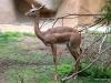 San Diego Zoo, Southern Gerenuk