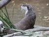 San Diego Zoo, Otter