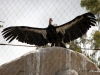 San Diego Zoo, California Condor