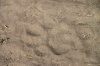 Lion's pawprint