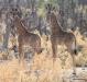 Juvenile giraffes