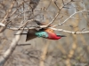 Scarlet-breasted Bee-Eater, Botswana