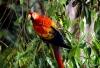 Scarlet Macaw, Peruvian Amazon