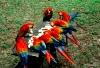 Scarlet Macaws, Peruvian Amazon