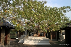 Bodhi tree, Seema Malaka Temple, Colombo