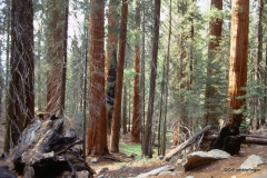 Sequoia National Park.  Congress Trail