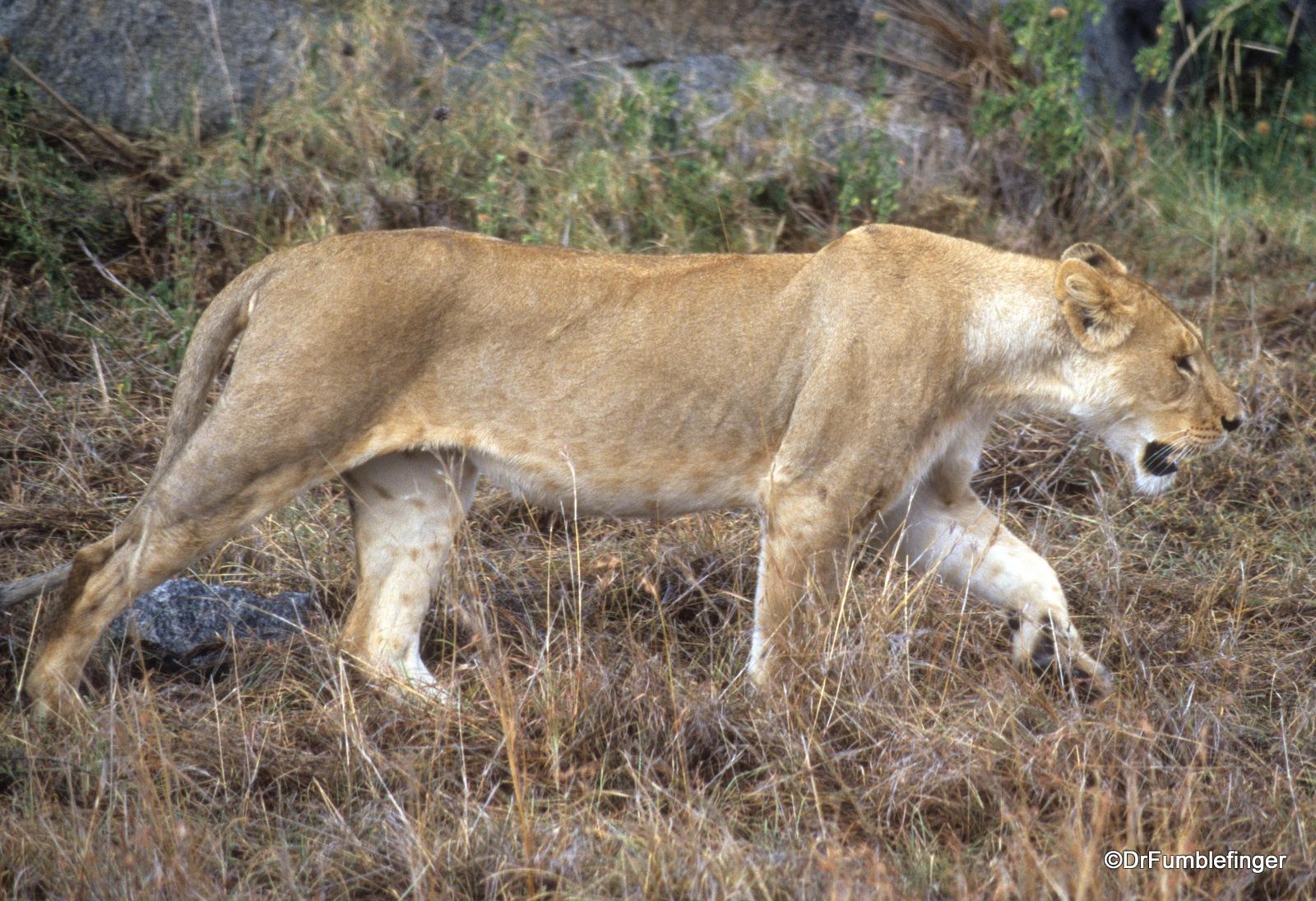 Lions, Simba Kopje, Serengeti National Park