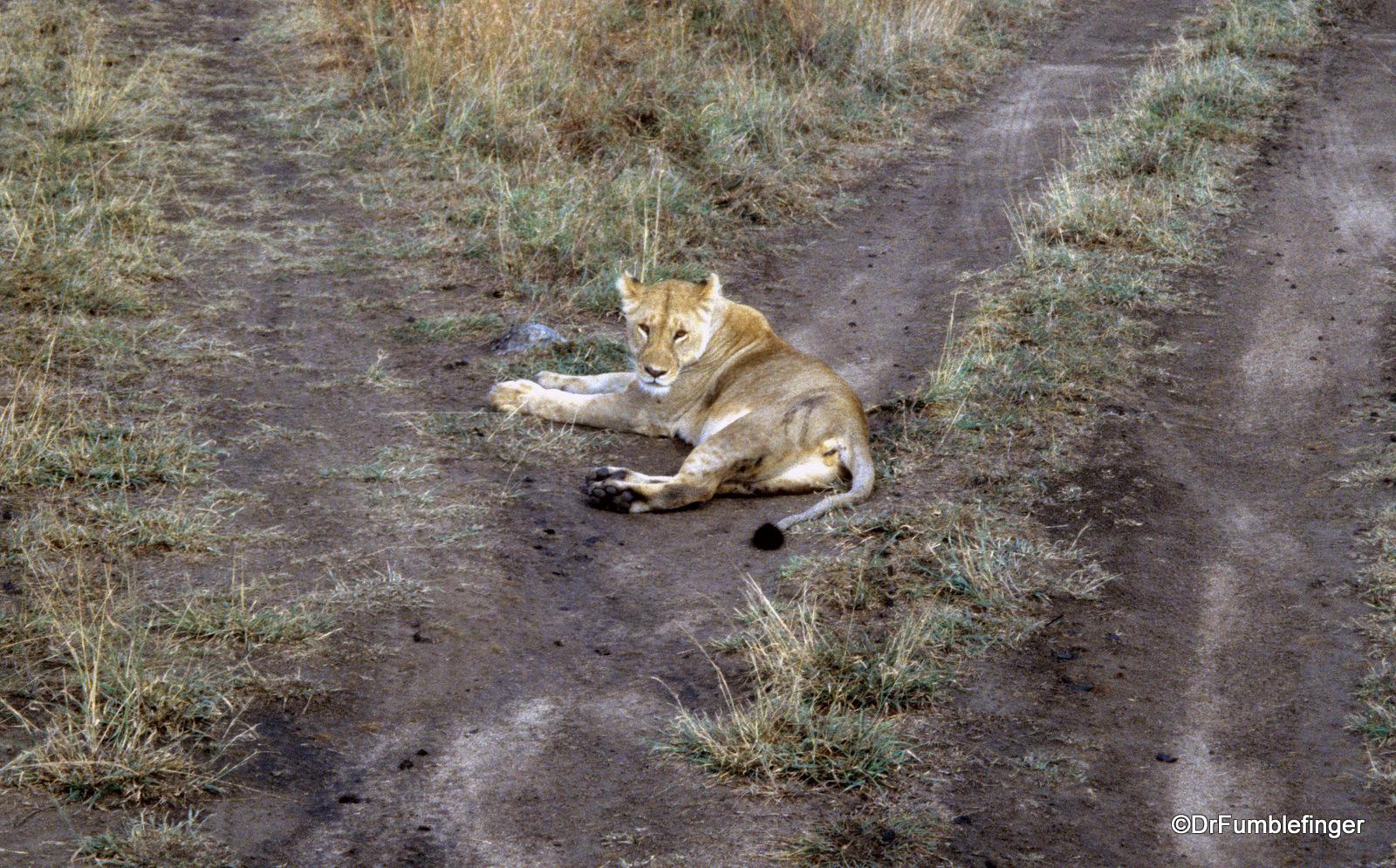 Lioness blocking road, Serengeti National Park