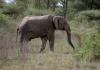 Serengeti National Park, Elephant