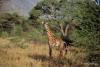 Serengeti National Park, Giraffe at dawn