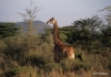Serengeti National Park, Giraffes