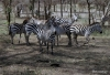 Serengeti National Park, Zebra