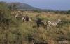 Serengeti National Park, Zebras at dawn