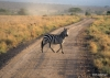 Serengeti National Park, Zebra crossing road