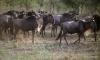 Serengeti National Park, Wildebeest
