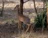 Serengeti National Park, Dik-Dik