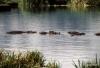 Serengeti National Park, Hippo Pool