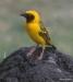 Serengeti National Park, Yellow Masked Weaver