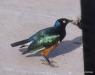 Serengeti National Park, Superb Starling