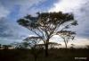 Acacia trees at dawn, Serengeti National Park,