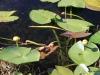 Waterlilies, Everglades N.P.