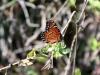 Butterfly, Everglades N.P.