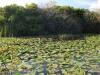 Waterlilies, Everglades National Park