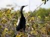 Anhinga, Everglades N.P.