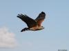 Hawk, Everglades N.P.