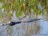 Alligator in Shark Valley, Everglades N.P.