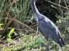 Great Blue Heron, Everglades N.P.