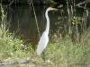 Great Egret, Everglades N.P.
