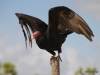 Red-headed vulture, Everglades N.P.