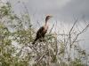 Cormorant, Everglades N.P.