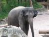 Singapore Zoo -- elephant