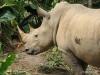 Singapore Zoo -- white rhino