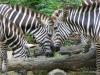 Singapore Zoo -- zebra