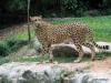 Singapore Zoo -- Cheetah