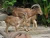 Singapore Zoo -- Barbary sheep