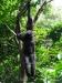 Singapore Zoo -- Black howler monkey