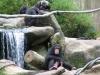 Singapore Zoo -- Chimpanzees