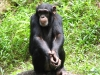 Singapore Zoo -- Chimpanzee