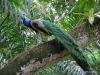 Singapore Zoo -- peacock