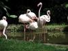 Singapore Zoo -- flamingos